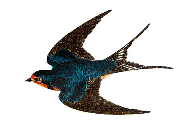 Barn Swallow clipart #20, Download drawings