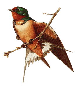 Barn Swallow clipart #7, Download drawings