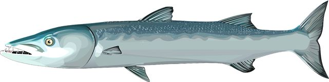 Barracuda clipart #11, Download drawings