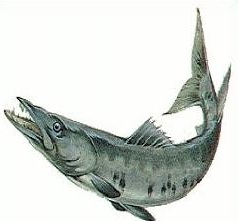 Barracuda clipart #8, Download drawings