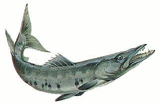Barracuda clipart #18, Download drawings