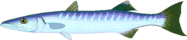 Barracuda clipart #16, Download drawings