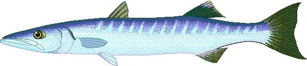 Barracuda clipart #16, Download drawings