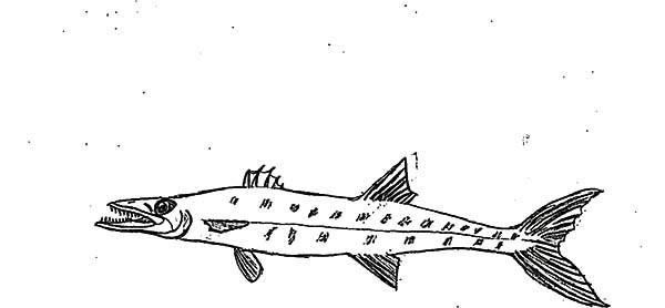 Barracuda coloring #13, Download drawings