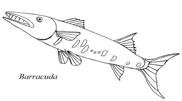Barracuda coloring #1, Download drawings