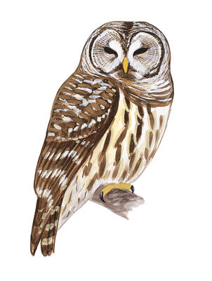 Barred Owl clipart #1, Download drawings
