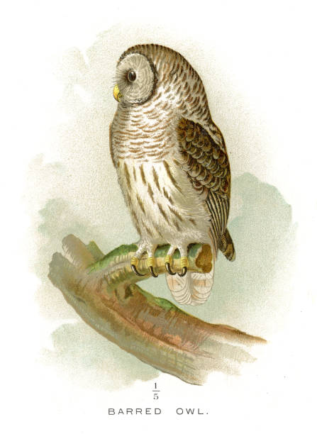 Barred Owl clipart #12, Download drawings