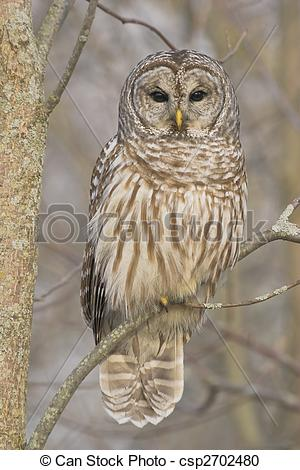 Barred Owl clipart #11, Download drawings
