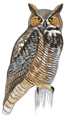 Barred Owl clipart #2, Download drawings