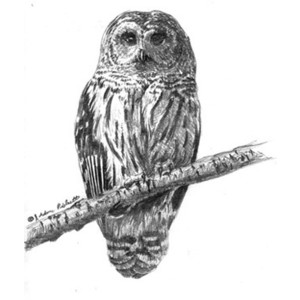 Barred Owl clipart #6, Download drawings
