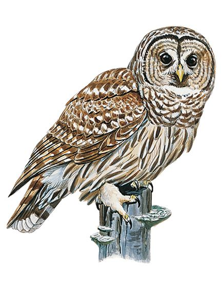 Barred Owl clipart #15, Download drawings