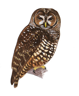 Barred Owl clipart #5, Download drawings