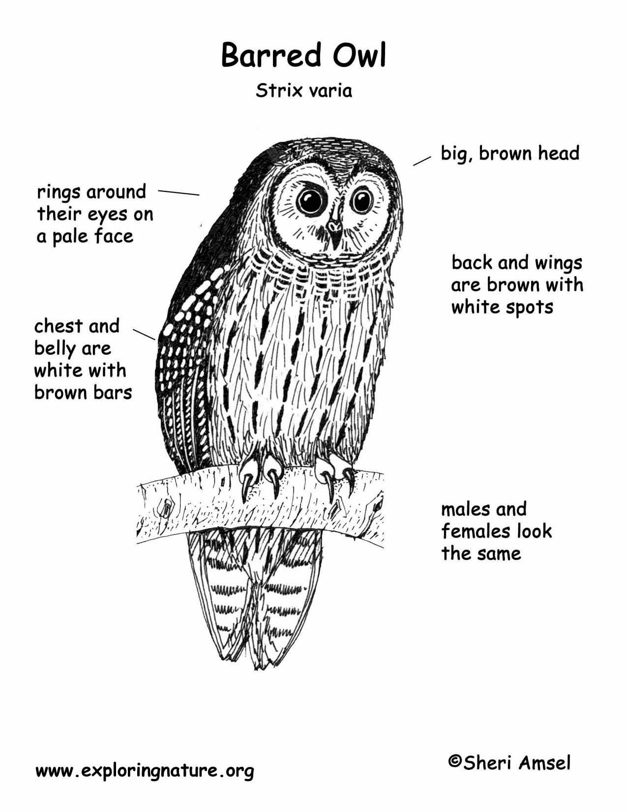 Barred Owl coloring #8, Download drawings