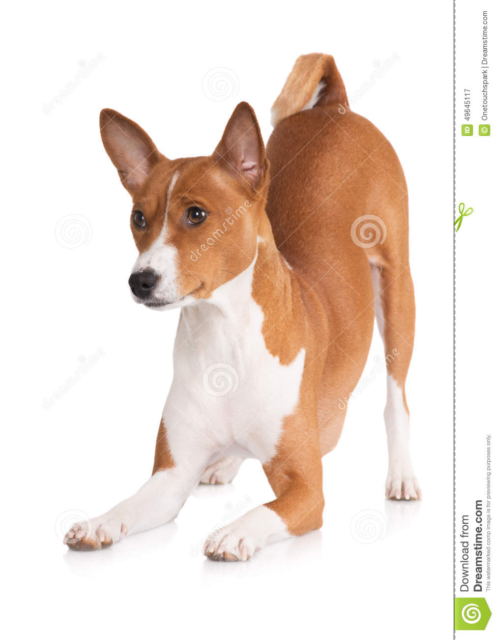 Basenji clipart #6, Download drawings