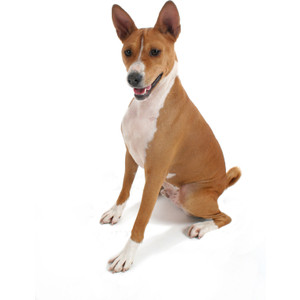 Basenji clipart #9, Download drawings