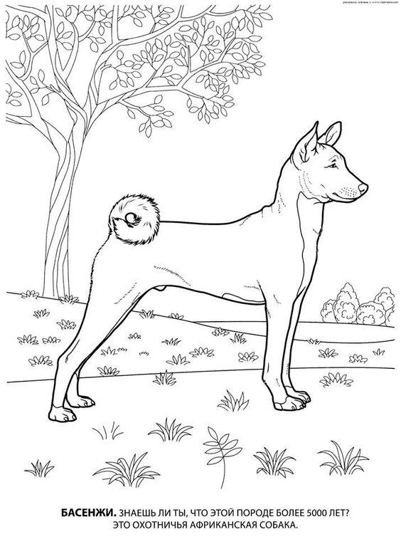 Basenji coloring #12, Download drawings