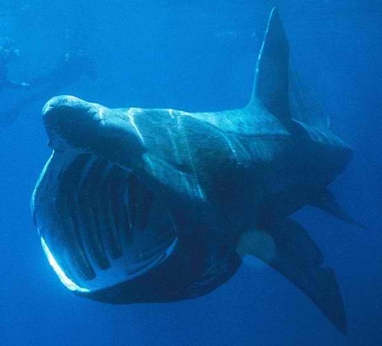 Basking Shark clipart #4, Download drawings