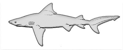 Silky Shark clipart #3, Download drawings