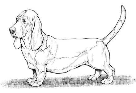 Basset Hound coloring #8, Download drawings