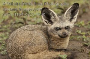 Bat-Eared Fox clipart #14, Download drawings
