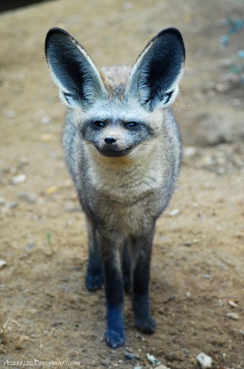 Bat-Eared Fox clipart #2, Download drawings