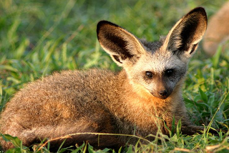 Bat-Eared Fox clipart #10, Download drawings