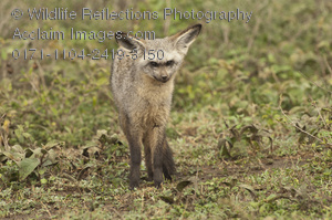 Bat-Eared Fox clipart #6, Download drawings