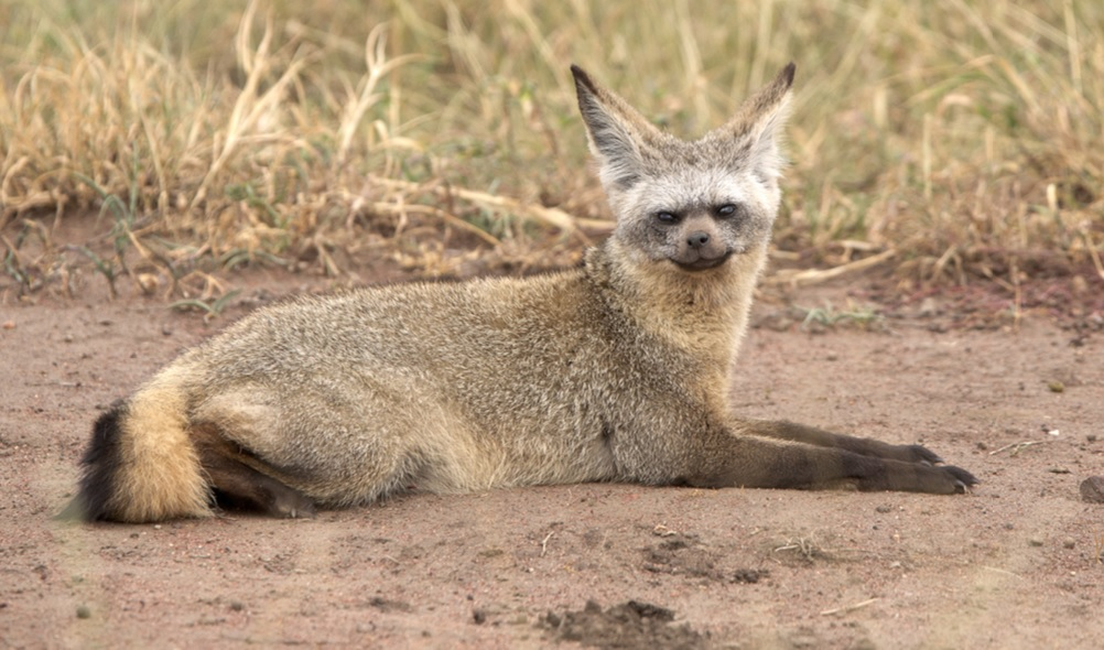 Bat-Eared Fox svg #20, Download drawings