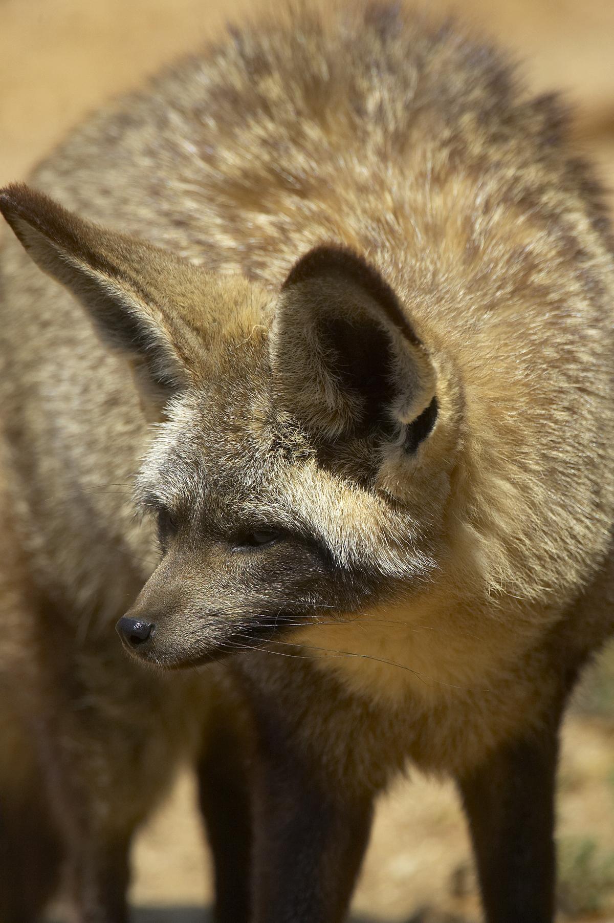 Bat-Eared Fox svg #4, Download drawings
