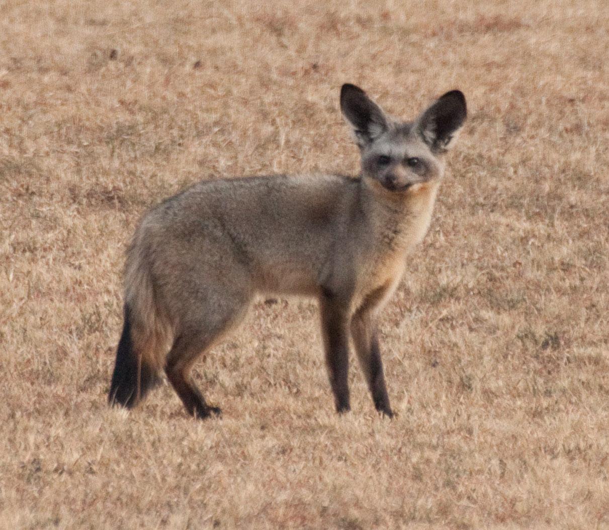 Bat-Eared Fox svg #19, Download drawings