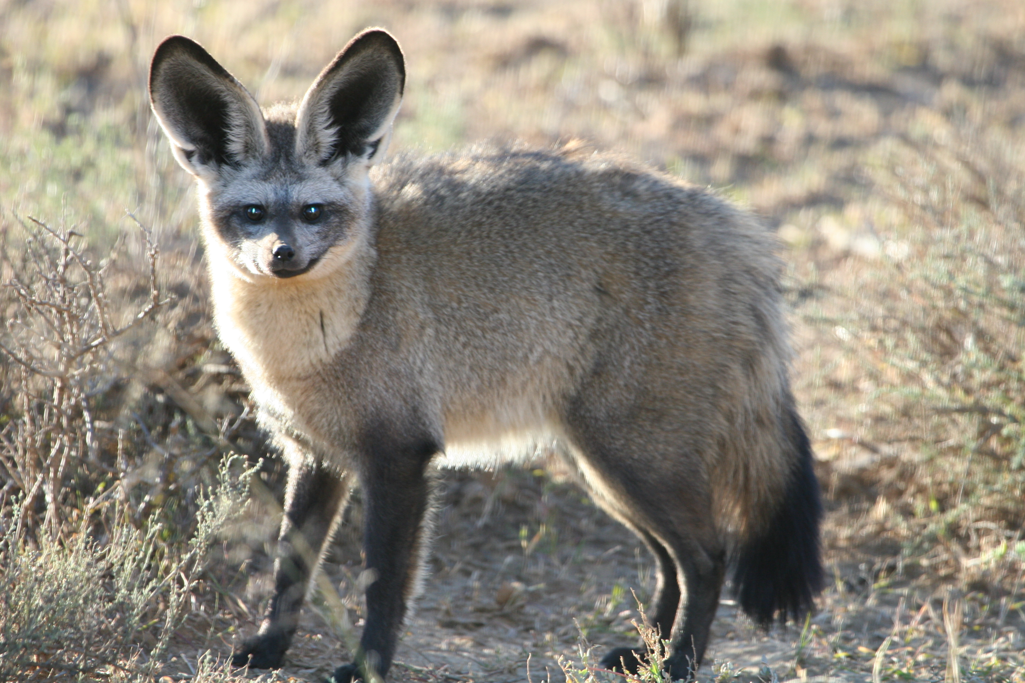 Bat-Eared Fox svg #2, Download drawings