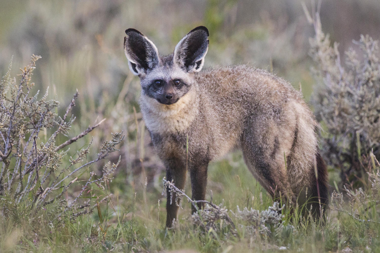 Bat-Eared Fox svg #9, Download drawings