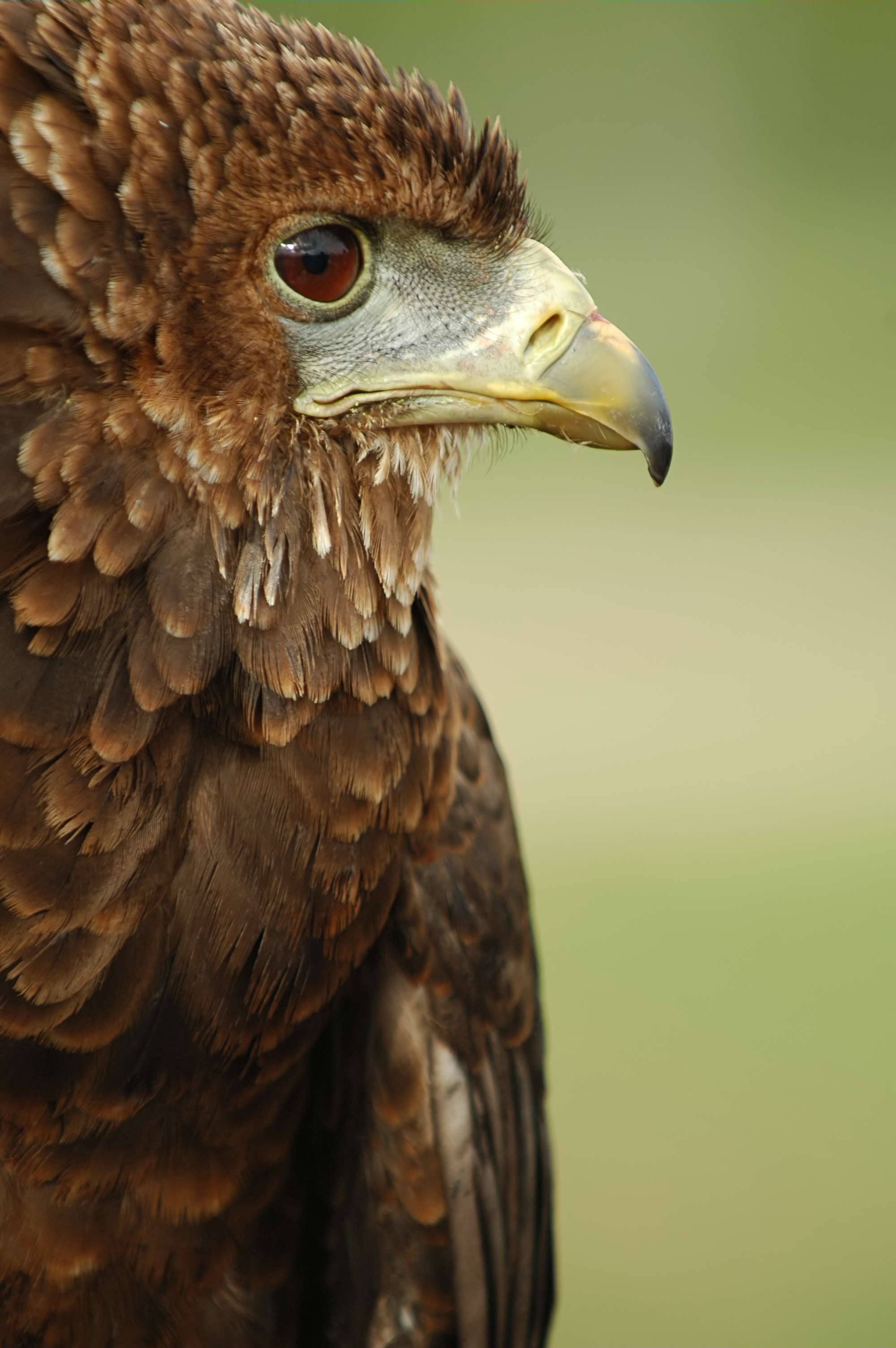 Bateleur svg #18, Download drawings