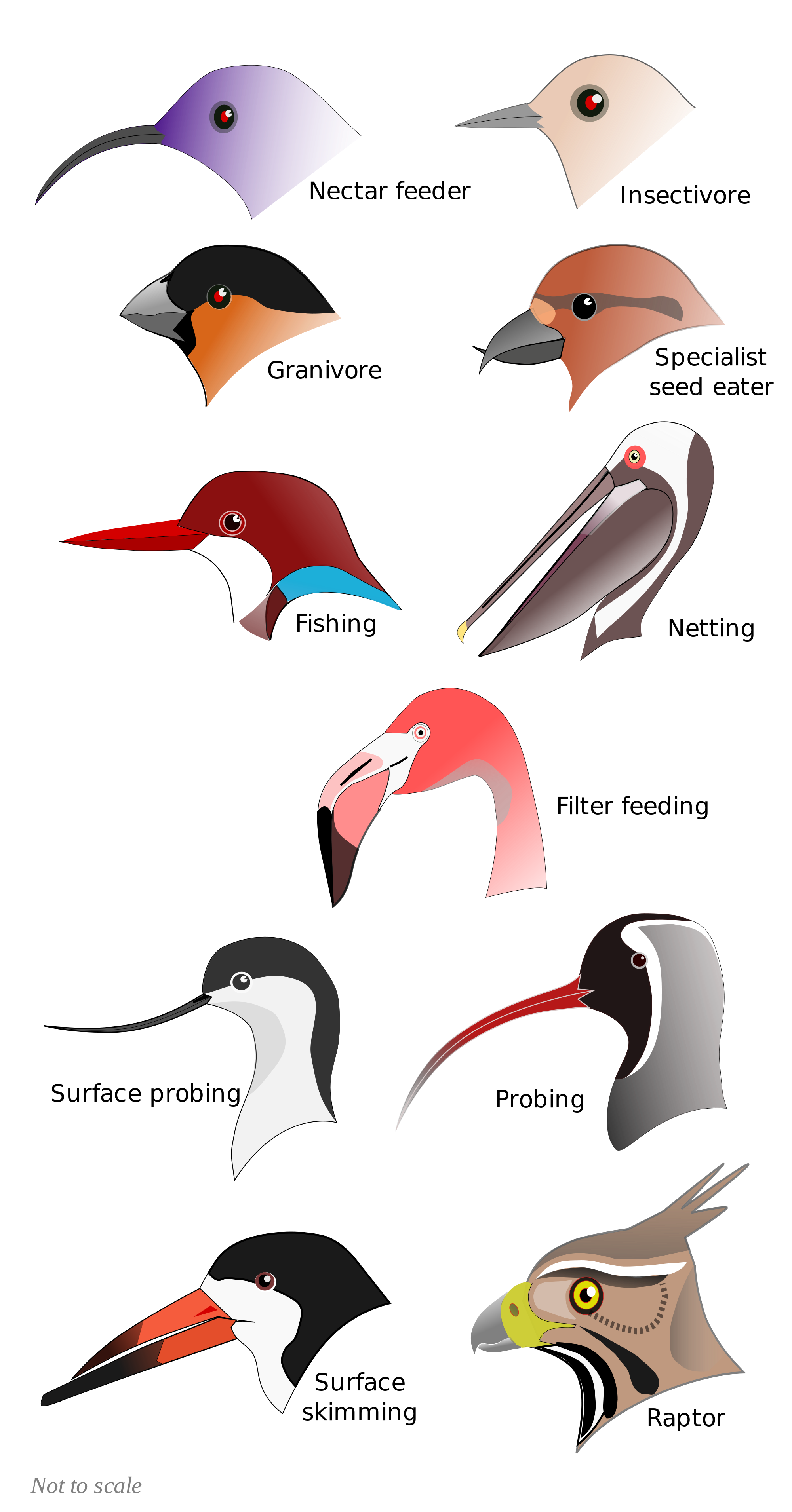 Beak svg #16, Download drawings