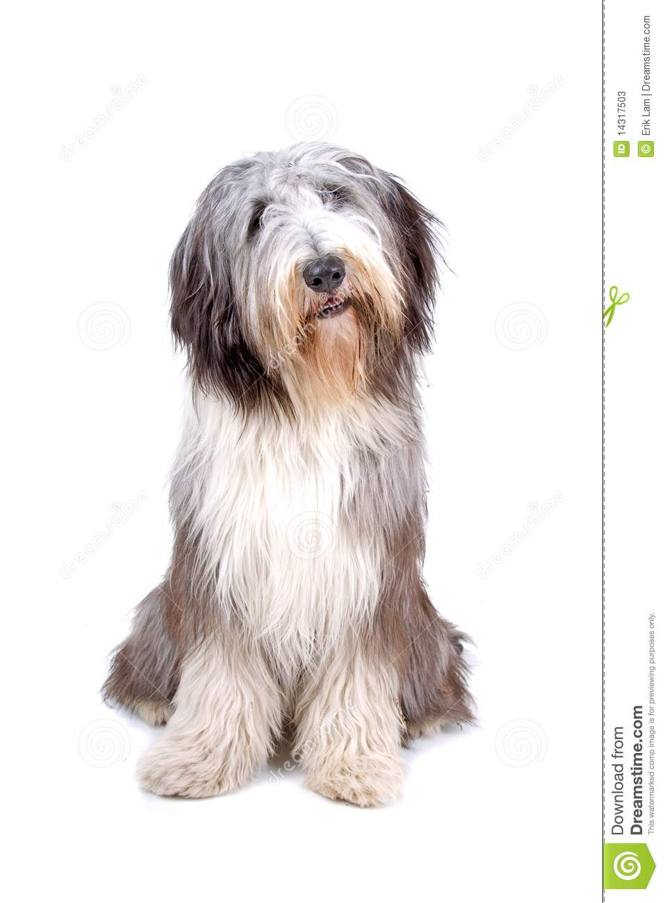 Bearded Collie clipart #9, Download drawings
