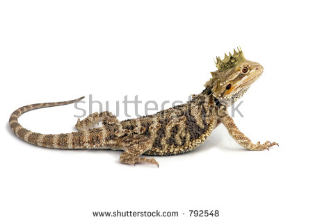 Bearded Dragon clipart #12, Download drawings