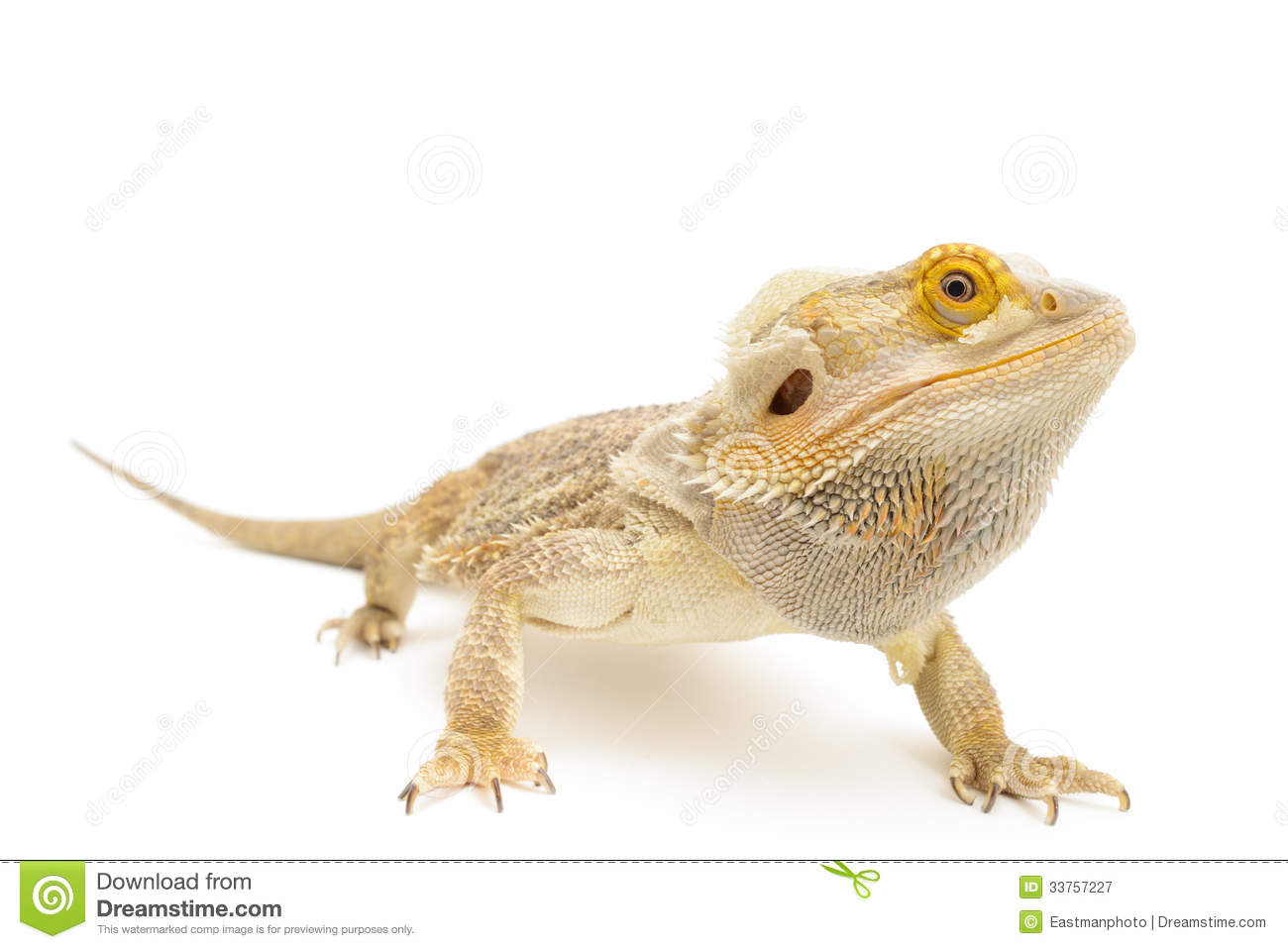 Bearded Dragon clipart #9, Download drawings