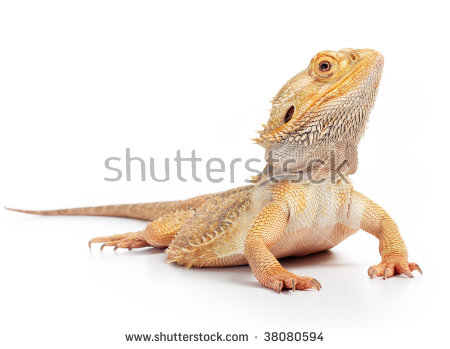 Bearded Dragon clipart #10, Download drawings