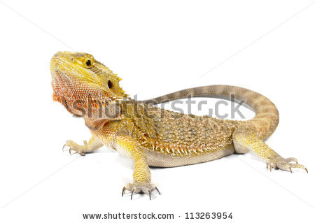Bearded Dragon clipart #7, Download drawings
