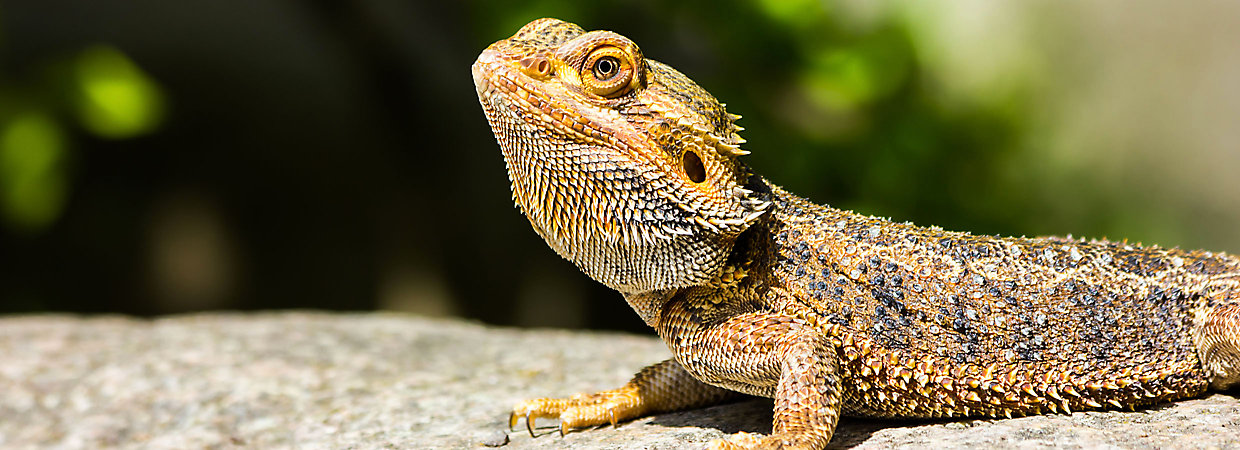 Bearded Dragon svg #1, Download drawings
