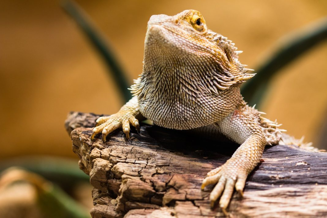 Bearded Dragon svg #2, Download drawings