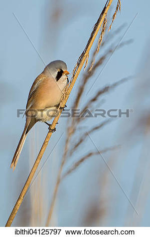 Bearded Reedling clipart #1, Download drawings