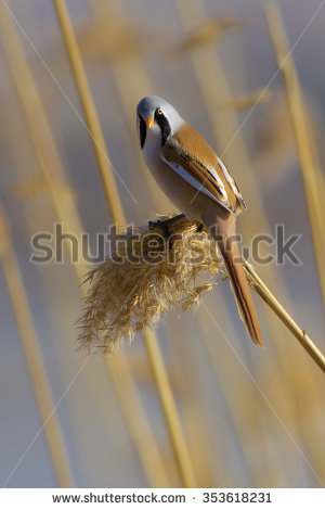 Bearded Reedling clipart #7, Download drawings