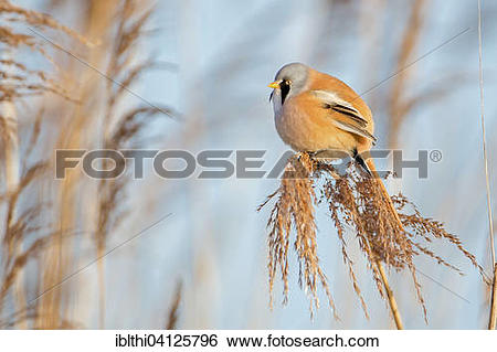 Bearded Reedling clipart #5, Download drawings
