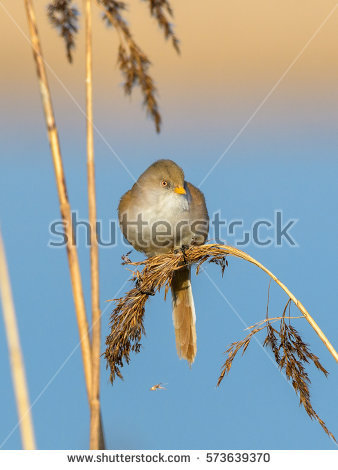 Bearded Reedling clipart #9, Download drawings