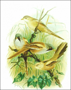 Bearded Reedling clipart #2, Download drawings
