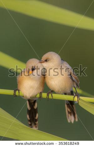 Bearded Reedling clipart #14, Download drawings