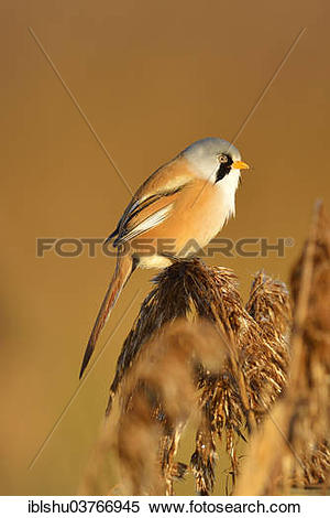 Bearded Reedling clipart #19, Download drawings
