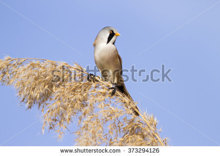 Bearded Reedling clipart #3, Download drawings