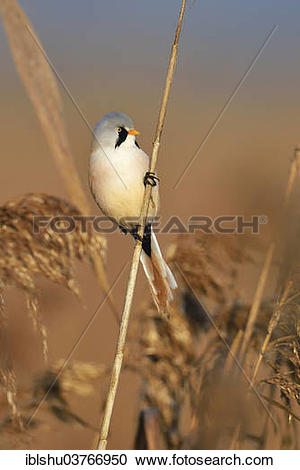 Bearded Reedling clipart #4, Download drawings